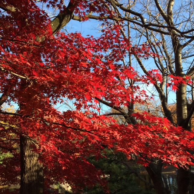 20151205紅葉②IMG_5336.JPG
