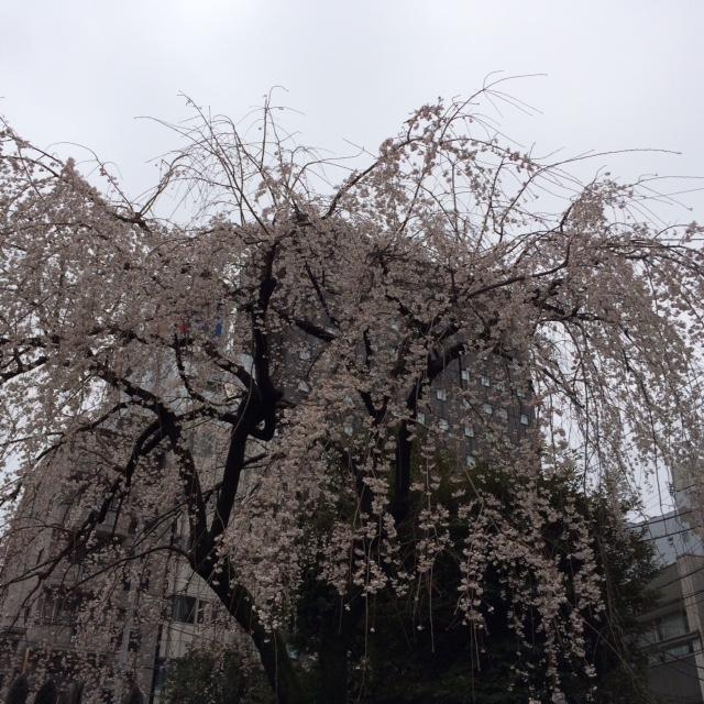 20180322桜①IMG_8222.JPG